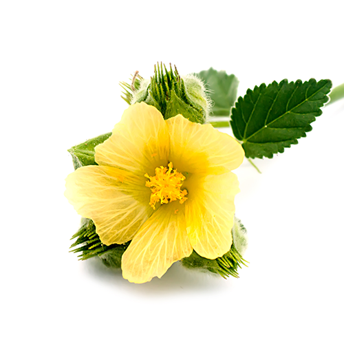 Country Mallow Ingredient Image