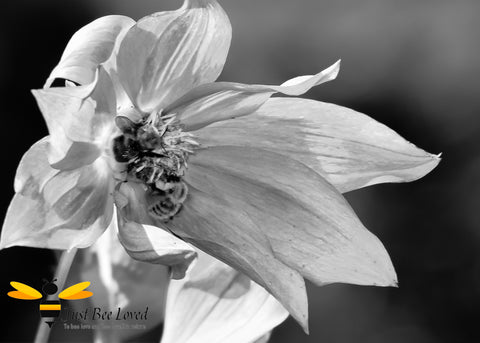 Black and white photographic image of two bumblebees on wild winter flowers by Yasmin Flemming