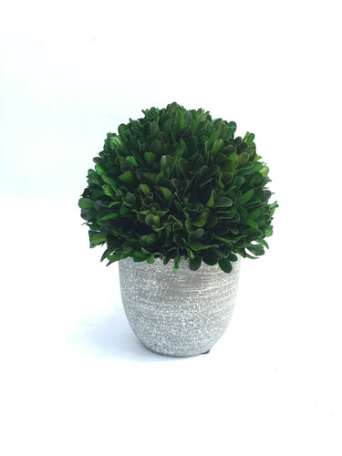 Green Boxwood Ball With Ceramic Pot