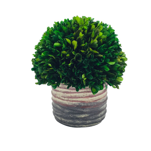 Preserved Boxwood Ball With Cement Pot