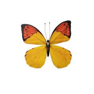 "Yew/Bla/Re Butterfly 11.8""D Yellow/Red/Black - Galt International"
