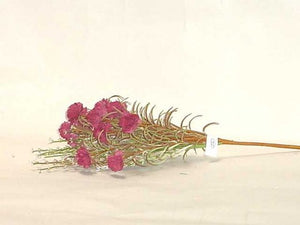 "Burgundy 16"" Dianthus With Pep Bouquet"