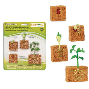 Green Bean Plant Life Cycle + ID Cards
