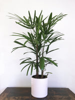 Load image into Gallery viewer, Rhapis excelsa (Lady Palm) - Florafolia