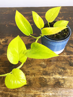 Load image into Gallery viewer, Epipremnum aureum Goldilocks - Florafolia