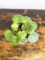 Load image into Gallery viewer, Saxifraga stolonoifera - Strawberry begonia - Florafolia