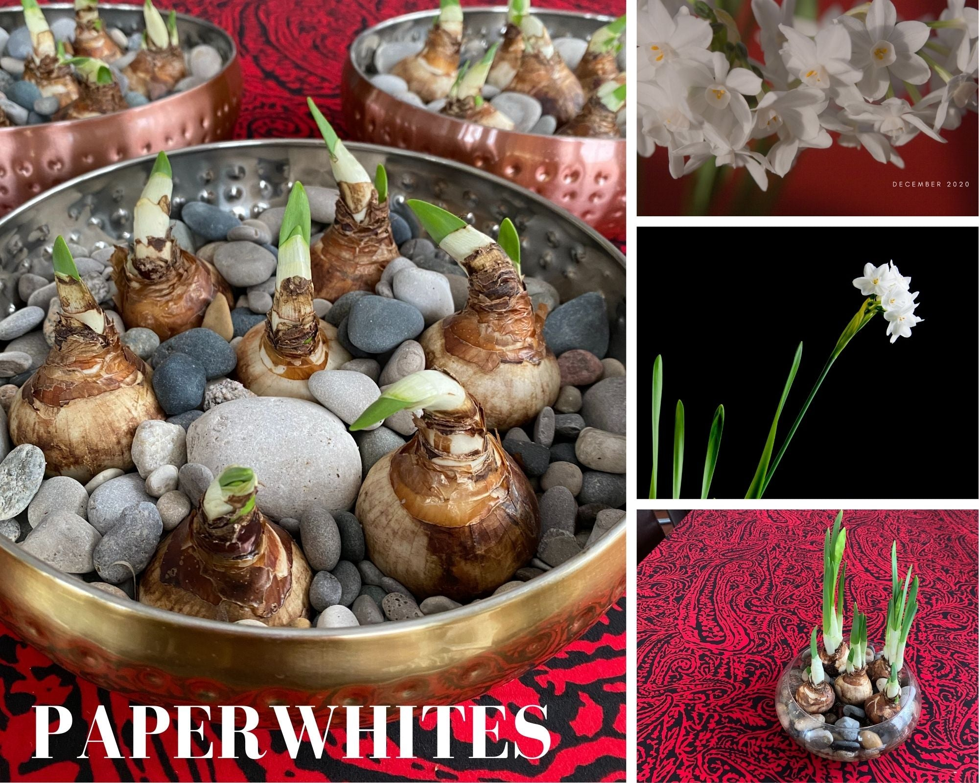 Paperwhites with free local delivery Wed Dec 23