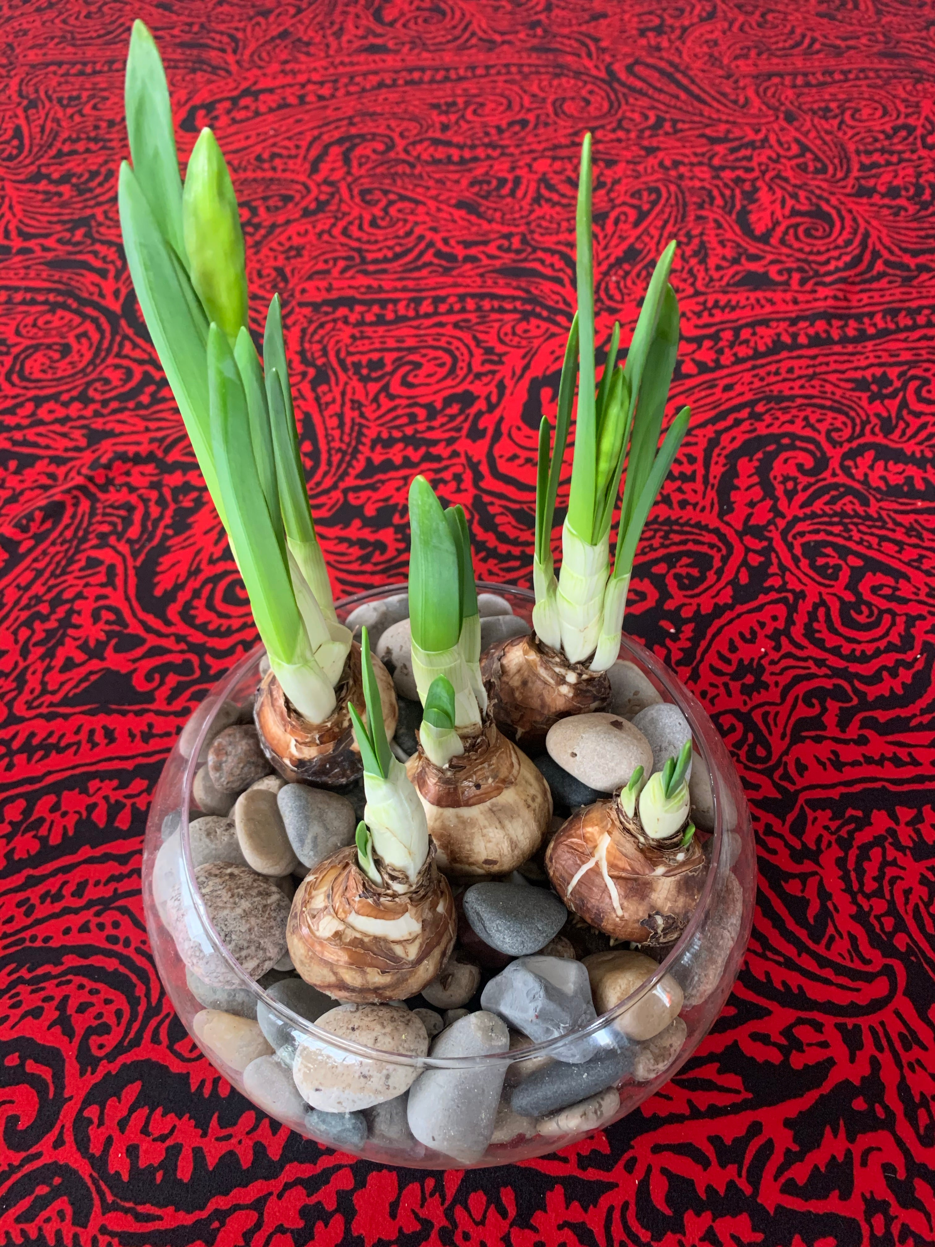 sprouting Paperwhites in beach rocks