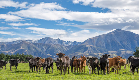 Cows on the Canterbury Plains 2 (Standard)