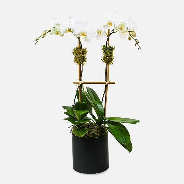 White Orchid Plant Phalaenopsis - www.bloomfloralshop.com