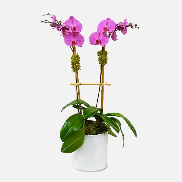2 Stem Purple Orchid - www.bloomfloralshop.com