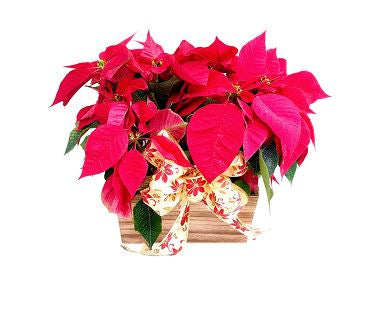 Poinsettia Arrangement Christmas Flowers Christmas centerpiece delivery