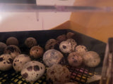 Fertile Coturnix Quail Eggs - Shipped