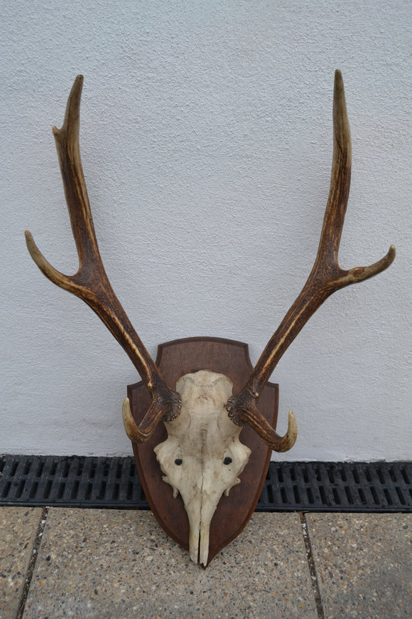Artificial Medium Deer Skull & Antlers - Retro & Vintage Furniture and Homewares