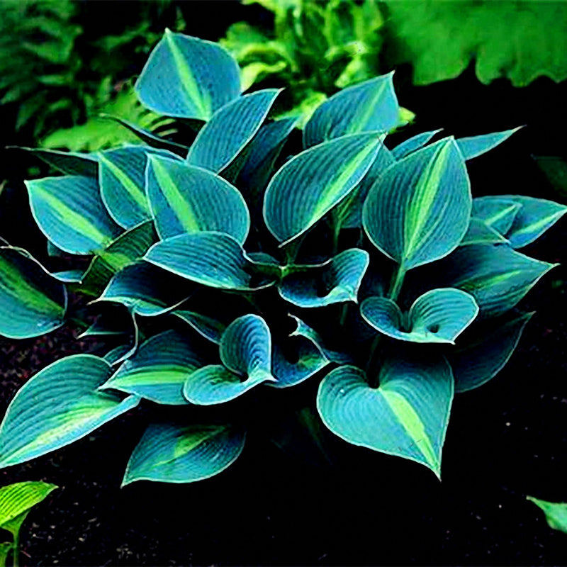 150Pcs/Pack Hosta Flower Seeds Garden Perennials Ornamental Lily Shade Hosta Plants Seeds