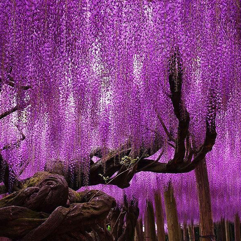 Egrow?15Pcs/Bag Rare Wisteria Flower Seeds Purple Wisteria Sinensis Sweet Seed for Home Garden Plant