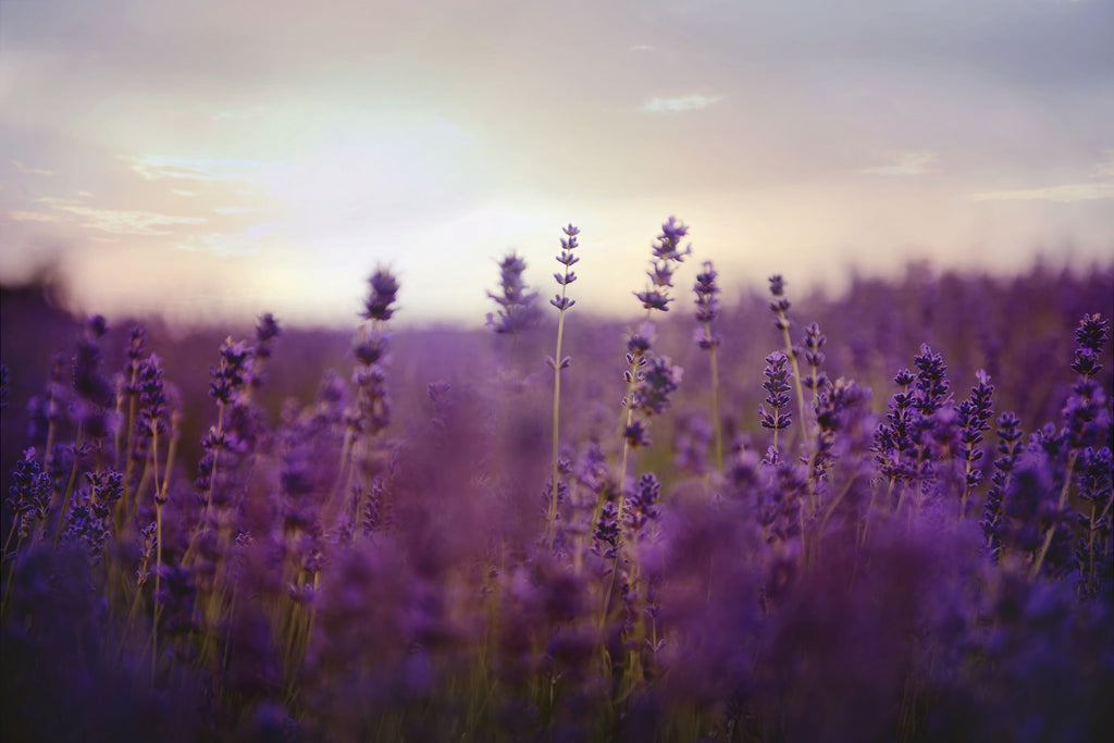 Why Skinny & Co. loves lavender essential oil