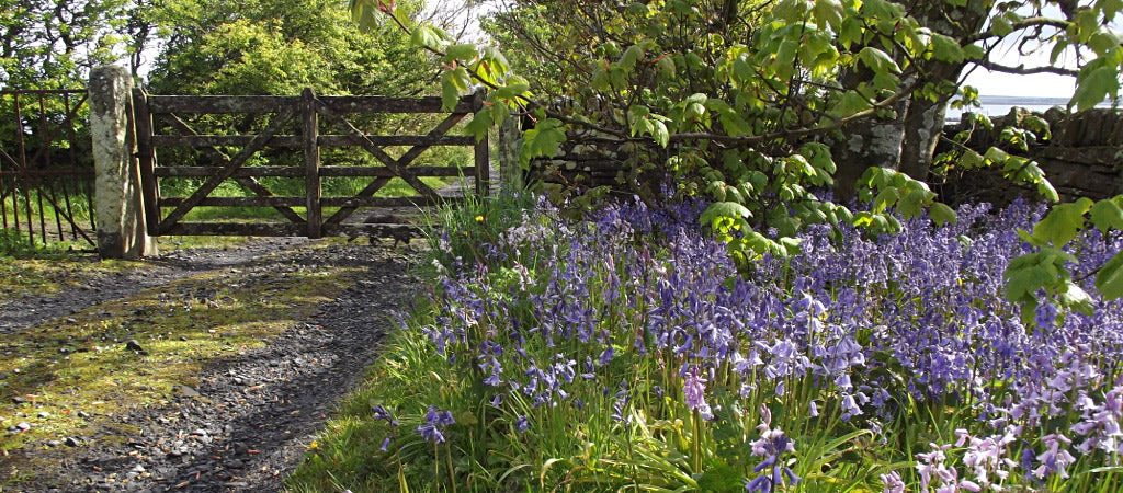 Bluebells add their own unique splash of colour to Orkney's landscape (Photo: Sheila Fleet)