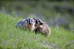 Badger and kit at their den