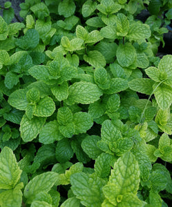 Organic Mint Seeds - Two-Pack of 600 Seeds Each