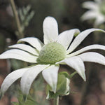 Flannel Flower | HYDRATE SERUM