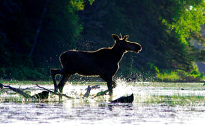 Splashy Moose