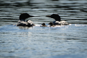 Sparkling loon family photo