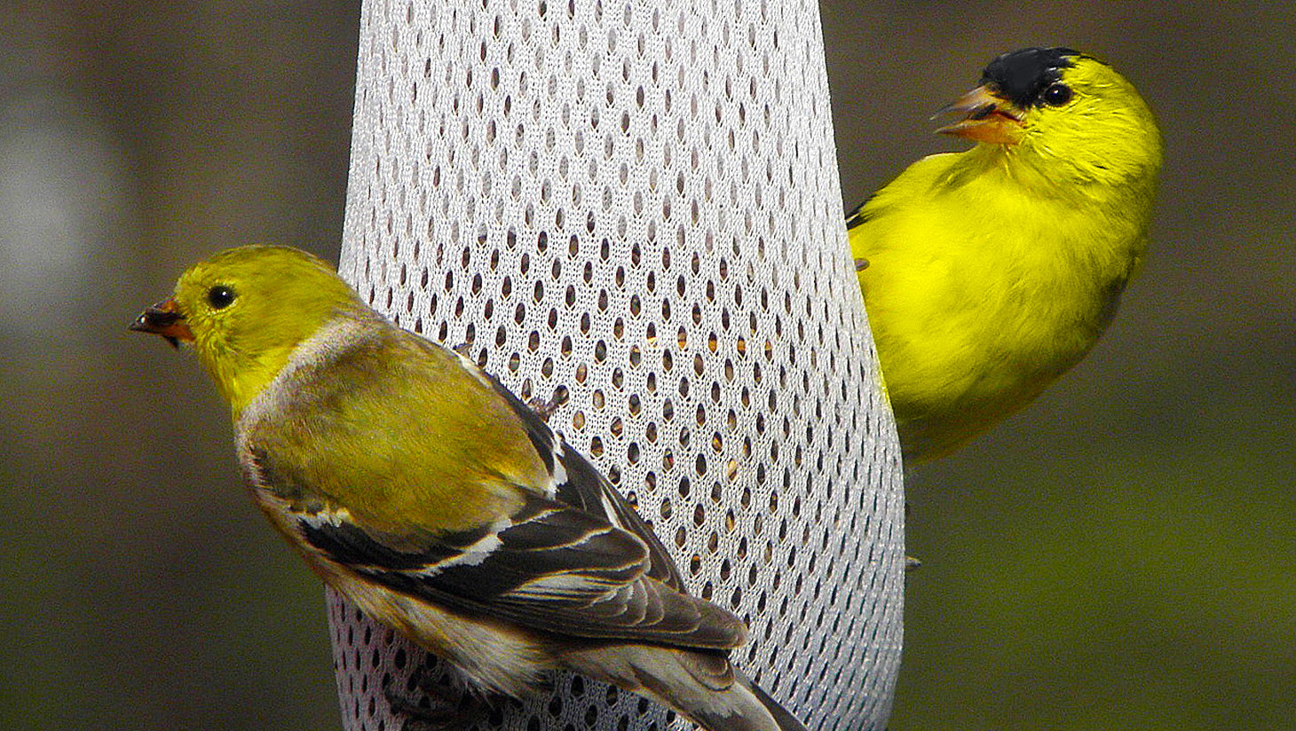 Yellow finch eating seed and hanging onto a Nyjer seed filled feeding sock