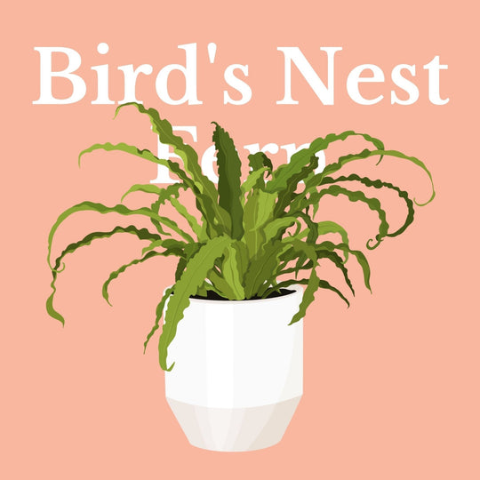 How To Make Your Plants Happy: Bird's Nest Fern Care Guide | 36vine