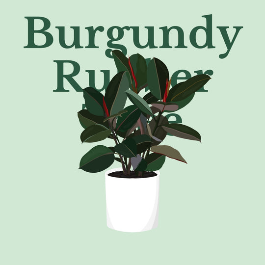 How To Make Your Plants Happy: Burgundy Rubber Tree Care Guide | 36vine