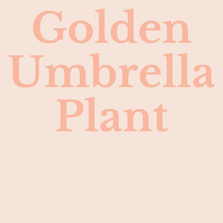 How To Make Your Plants Happy: Golden Umbrella Plant Care Guide | 36vine