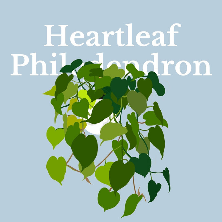 How To Make Your Plants Happy: Heartleaf Philodendron Care Guide | 36vine