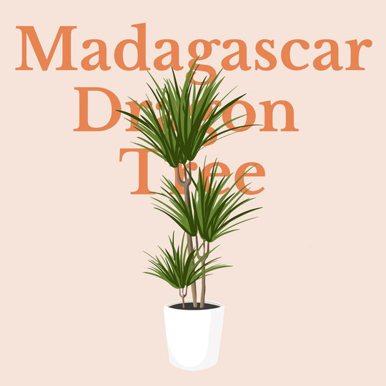 How To Make Your Plants Happy: Madagascar Dragon Tree Care Guide | 36vine