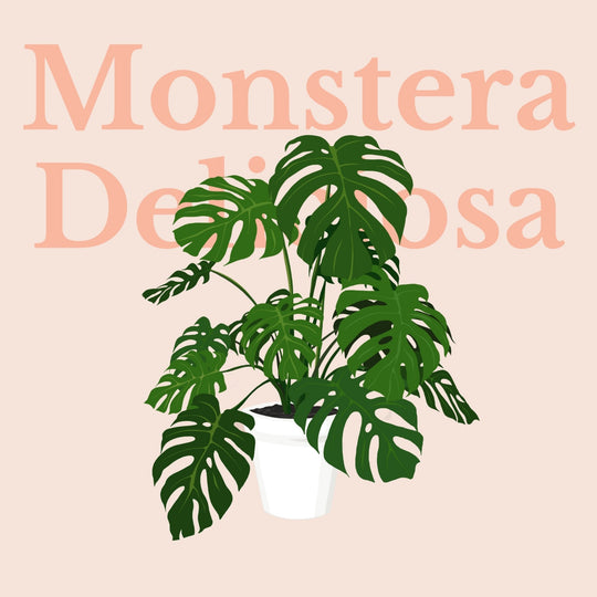 How To Make Your Plants Happy: Monstera Care Guide | 36vine