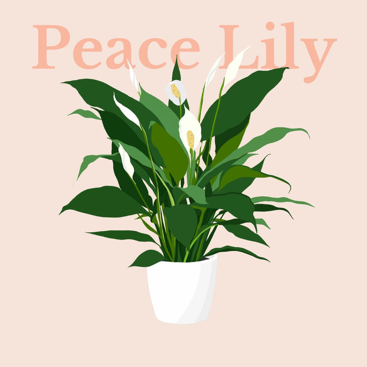 How To Make Your Plants Happy: Peace Lily Care Guide | 36vine