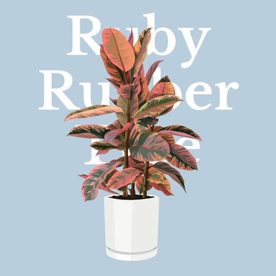 How To Make Your Plants Happy: Ruby Rubber Tree Care Guide | 36vine
