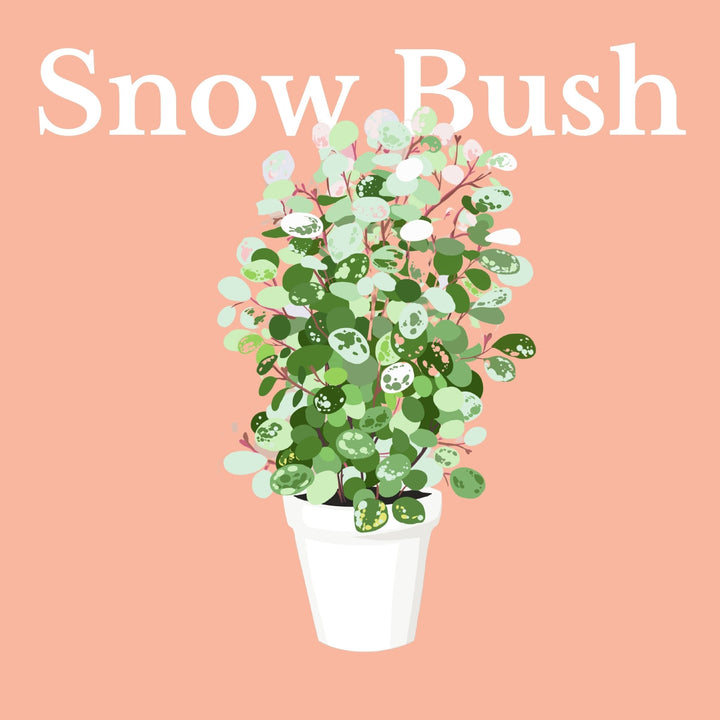 How To Make Your Plants Happy: Snow Bush Care Guide | 36vine