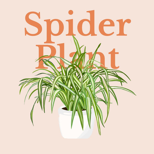 How To Make Your Plants Happy: Spider Plant Care Guide | 36vine