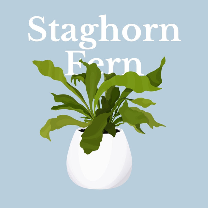 How To Make Your Plants Happy: Staghorn Fern Care Guide | 36vine