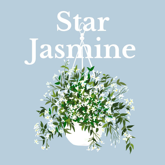 How To Make Your Plants Happy: Star Jasmine Care Guide | 36vine