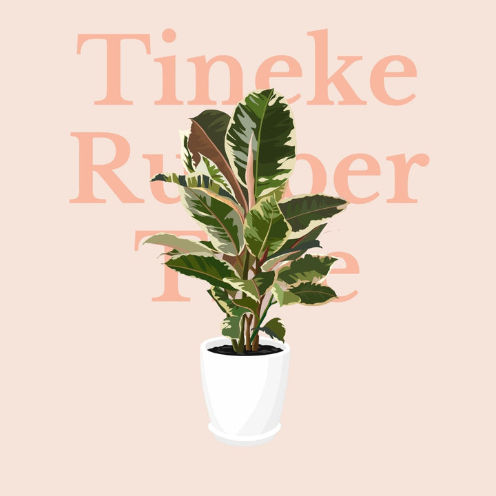 How To Make Your Plants Happy: Tineke Rubber Tree Care Guide | 36vine