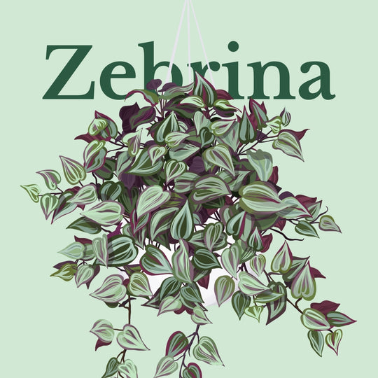 How To Make Your Plants Happy: Zebrina Care Guide | 36vine