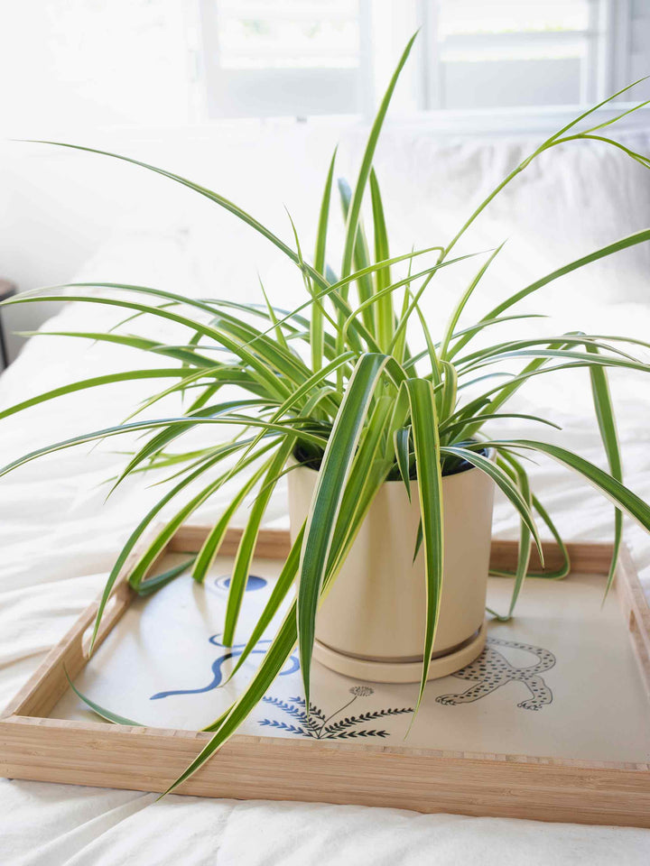 Plant of the Week: Reverse Spider Plant