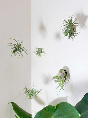Air Plant Pack - 36vine