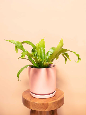 Bird's Nest Fern - 36vine