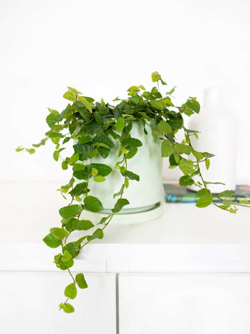 Creeping Fig - 36vine