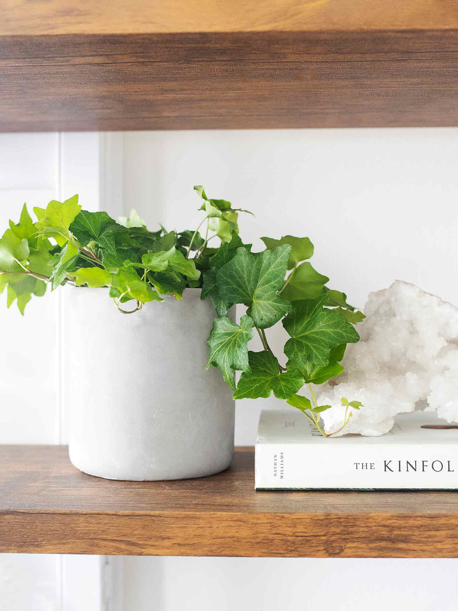 English Ivy - 36vine