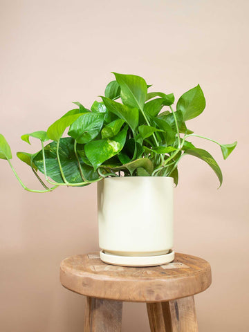 Golden Pothos - 36vine