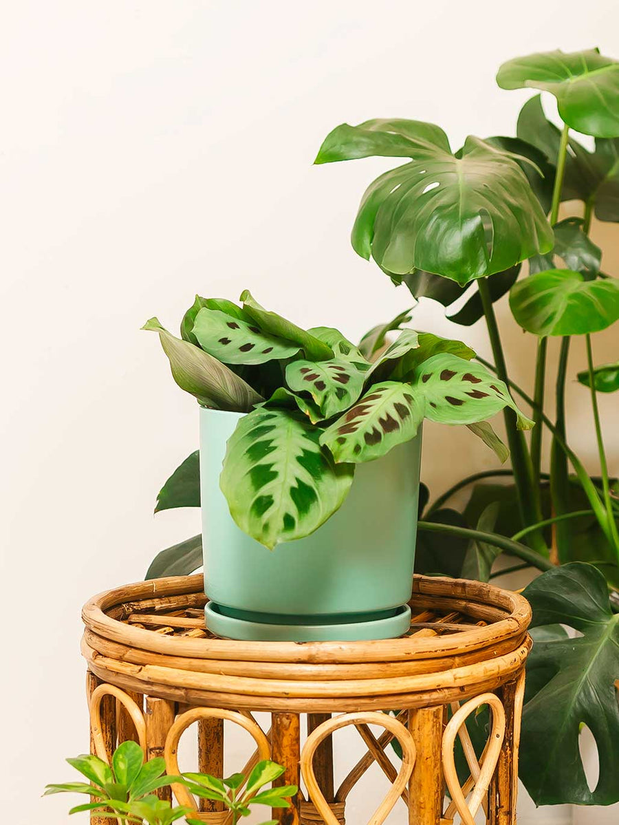 Green Prayer Plant - 36vine