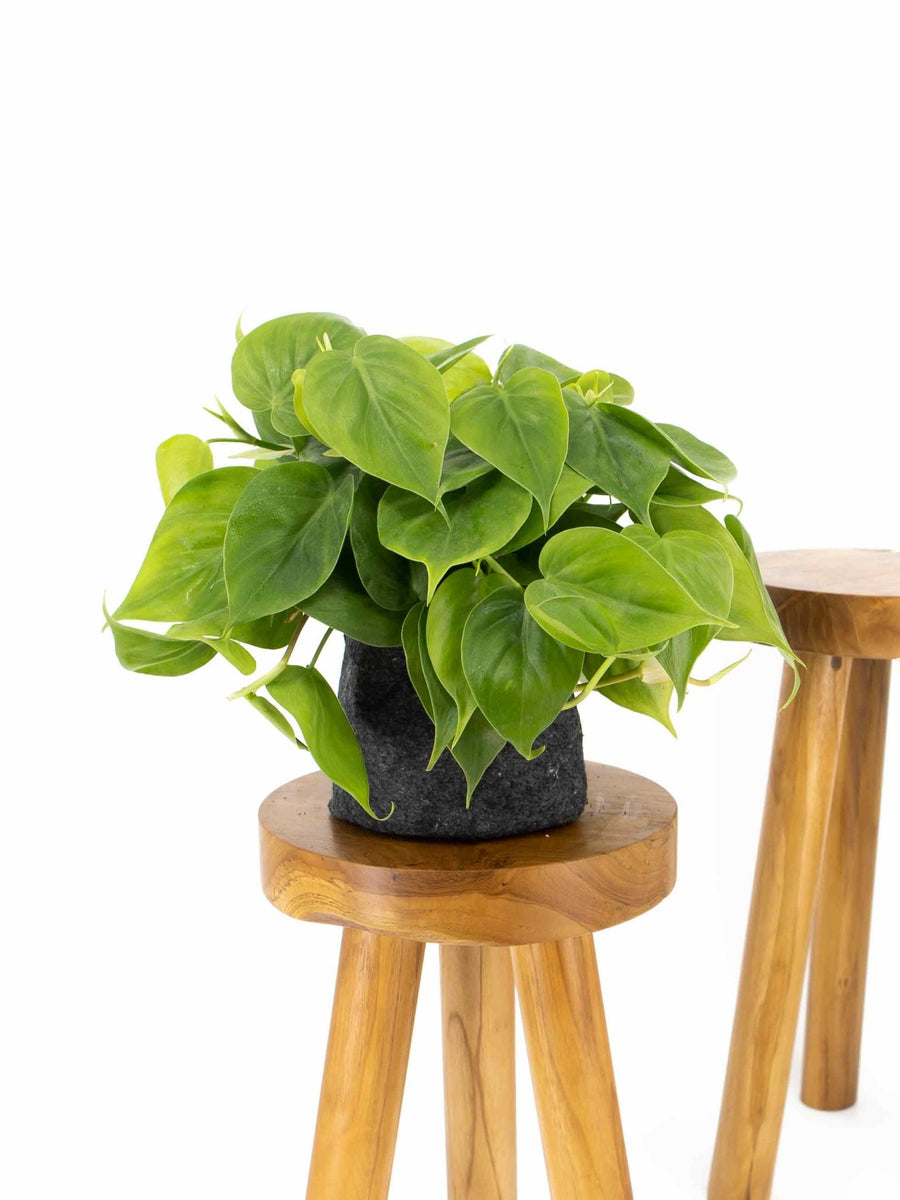 Heartleaf Philodendron - 36vine